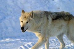 Vit varg i snön Arkivfoto