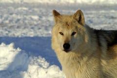 Vit varg i snön Royaltyfri Fotografi