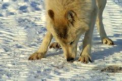Vit varg i snön Royaltyfria Foton