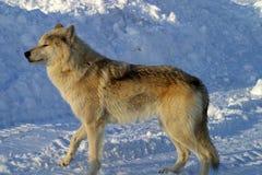 Vit varg i snön Arkivfoton