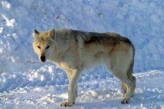 Vit varg i snön Royaltyfri Bild