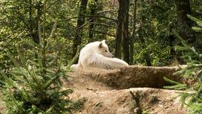 Vit varg som ligger på hålla ögonen på för kulle vem störer honom Royaltyfria Foton