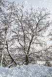 vit vinter för trees Royaltyfria Bilder