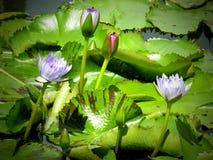 Vit violet och rosa vatten- liljablomma Royaltyfria Bilder