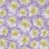 Vit-violett-guling bakgrund Bukettblommor av ljusa röd-guling krysantemum Närbild Arkivbilder