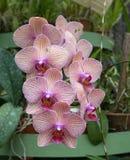 Vit-violetta randiga orkidér Royaltyfri Fotografi