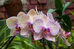 Vit-violetta randiga orkidér Royaltyfria Bilder