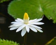 Vit waterlily blomma med gröna sidor royaltyfria foton