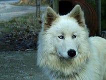 vit wolf Arkivfoto