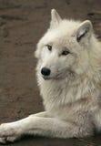 vit wolf Fotografering för Bildbyråer