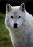 vit wolf Arkivbild