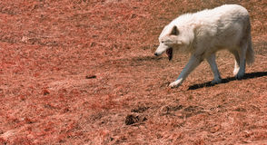 vit wolf Royaltyfri Fotografi