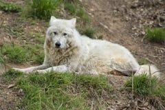 vit wolf Royaltyfri Foto