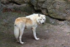 vit wolf Arkivfoton