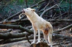 vit wolf Arkivbilder