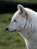 vit wolf för profil royaltyfri foto