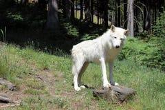 Vit wolve Arkivfoto