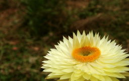 Vit Xerochrysum blomma Arkivbilder