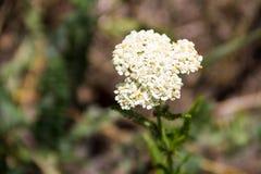 Vit yarrowblommaAchillea millefolium Fotografering för Bildbyråer