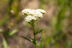 Vit yarrowblommaAchillea millefolium Royaltyfri Foto