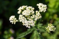 Vit yarrowblommaAchillea millefolium Arkivbilder