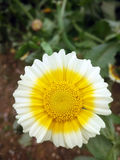 vit yellow för blomma Royaltyfria Foton
