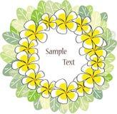 vit yellow för frangipani Royaltyfri Foto