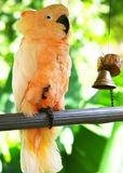 vit yellow för papegoja Royaltyfri Bild