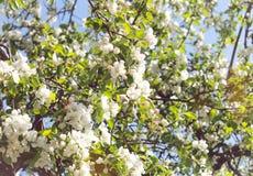 Vita äppleblommor på ett träd royaltyfria bilder