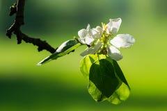 Vita äppleblomning och sidor Arkivfoto