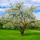 vita äppleblomningtrees Arkivfoto