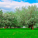 vita äppleblomningtrees Royaltyfria Foton