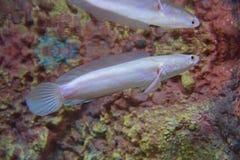 Vita Albino Snakehead Fish Royaltyfri Foto