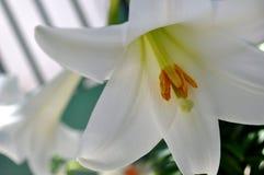 Vita amarillis av våren Royaltyfri Bild