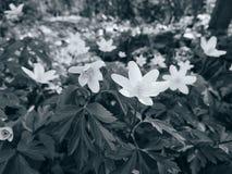 vita anemoner Arkivfoton