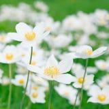 Vita anemoner i natur Royaltyfri Fotografi