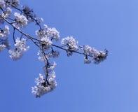 Vita Apple blomningblommor Arkivbild