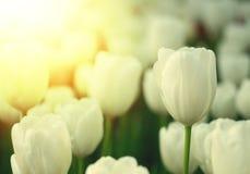 vita bakgrundstulpan Blomma i solljus, sommar, landskapkort Fotografering för Bildbyråer