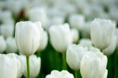 vita bakgrundstulpan Blomma sommar, landskapkort Arkivbilder