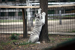 Vita bengal behandla som ett barn tigern royaltyfri bild
