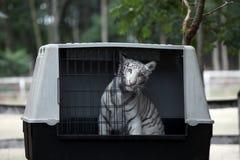 Vita bengal behandla som ett barn tigern arkivbilder