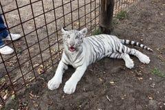 Vita bengal behandla som ett barn tigern fotografering för bildbyråer
