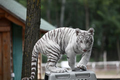 Vita bengal behandla som ett barn tigern royaltyfri fotografi