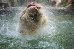Vita Bengal Tiger Water Playing Arkivfoto