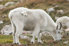 Vita Big Hornfår - Rocky Mountain Goat Royaltyfria Foton