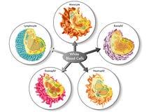 vita blodceller Arkivfoto