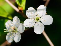 Vita blom av att blomstra trädet Arkivfoto