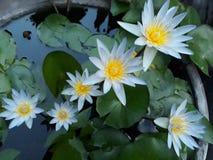 Vita blom växer i trädgården Arkivbild