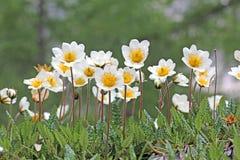 Vita blomkronor; dryasoctopetala Fotografering för Bildbyråer