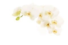 Vita blommande orkidéblommor Royaltyfria Bilder